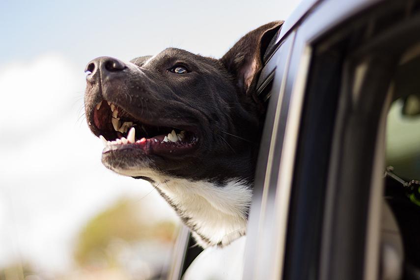 Cuide de seu cãozinho também quando sair de carro