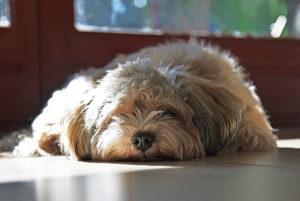 Cachorro sozinho em casa, saiba o que fazer
