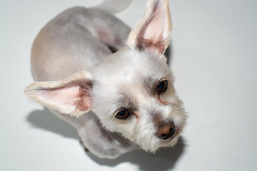 Otite em cães e gatos pode evoluir para uma doença crônica