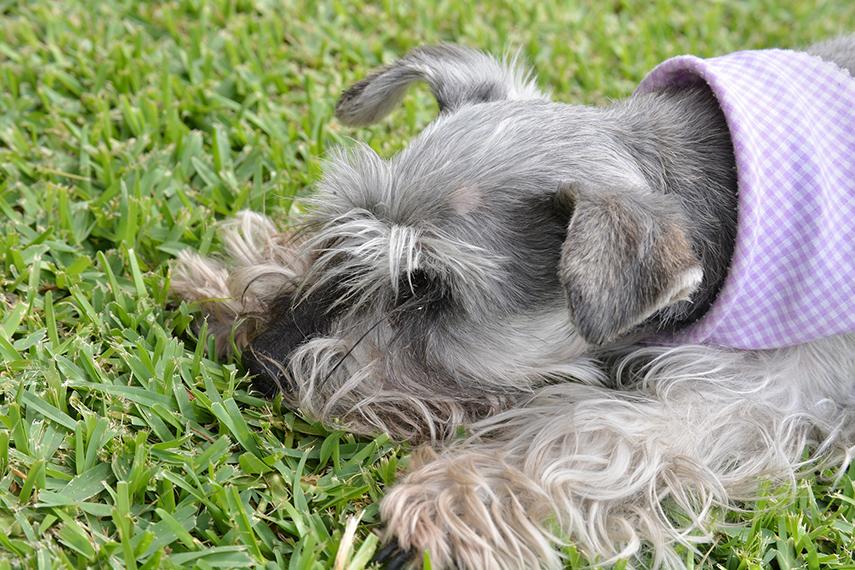 Quando seu pet come grama, pode ser um sinal de alerta