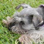 Se seu cachorro ou gato come grama é um sinal de alerta?