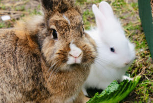 Saiba os cuidados básicos para você ter um coelho de estimação