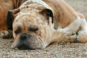 Você sabe identificar quando o seu cachorro sente dor?